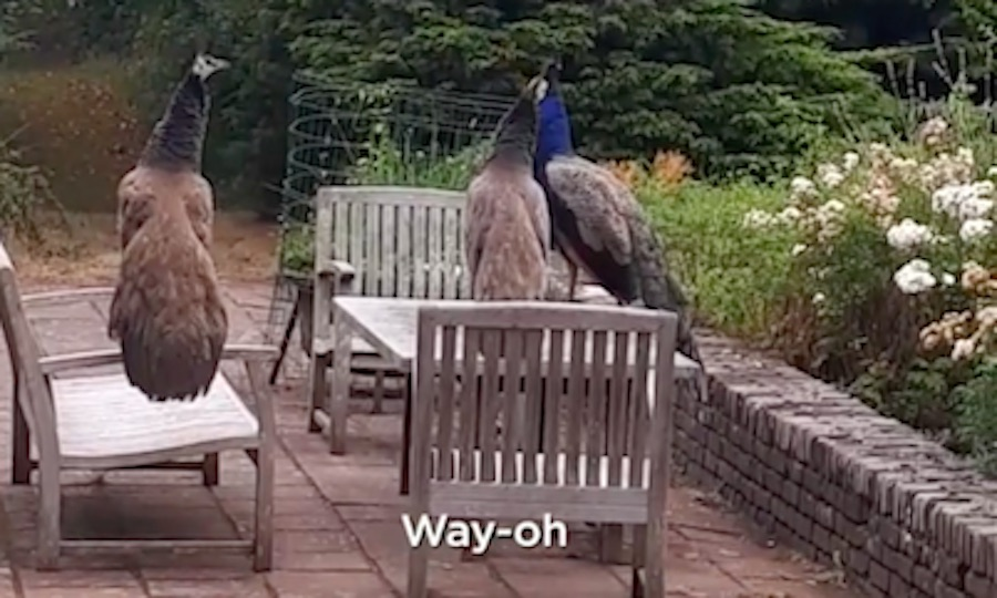 påfugle synger